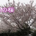 20160401_sakura_eye