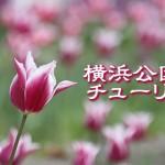 tulip2016_eye