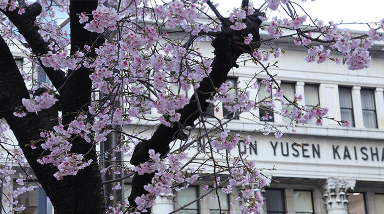 横浜郵船ビル前の大寒桜が見頃を迎えました