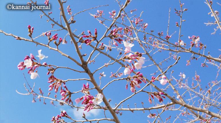 春が来た!大岡川にサクラサク